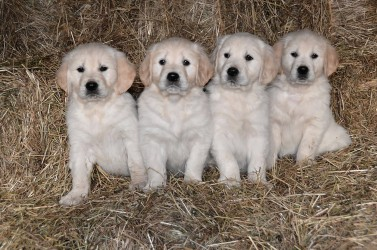 Golden Retriever des Lys du Gaucho